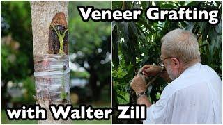 Veneer Grafting of Mango Trees with Walter Zill
