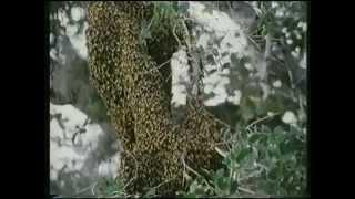 Abejas Asesinas (The Savage Bees) (Bruce Geller, EEUU, 1976)