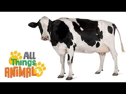 COWS: Animals for children. Kids videos. Kindergarten | Preschool learning