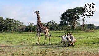 It took eight men to wrangle this giraffe in distress | New York Post