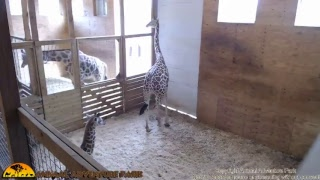 Tuesday Giraffe Cam (5-23-17)