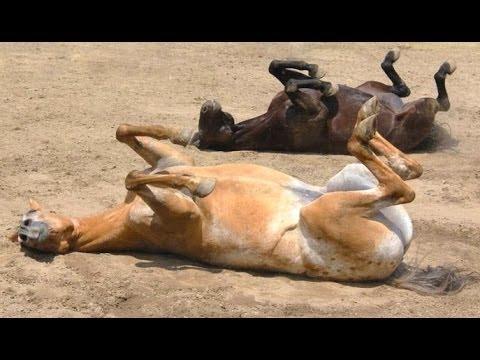 Divertenti cavalli - un divertente video del cavallo. Compilazione
