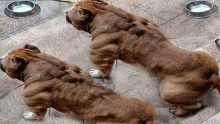 """أغرب 10 سلالات من كلاب البيتبول """" لن تصدق وجودها """" ..!"""