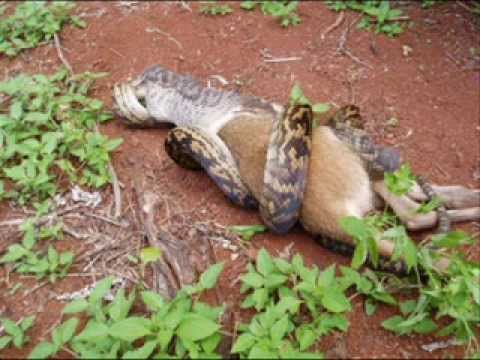 Cobra Engole Canguru Anaconda