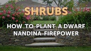 How to Plant a Dwarf Nandina Firepower