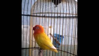love bird belajar ngekek 15 4 mb   om kicau mania