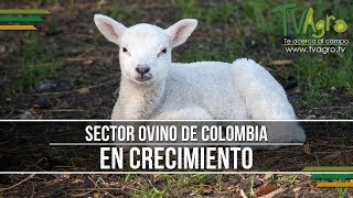 Sector Ovino de Colombia en Crecimiento - TvAgro por Juan Gonzalo Angel