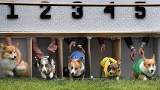 Hundreds of corgis compete in California race