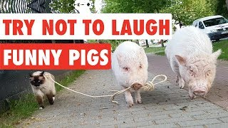 Try Not To Laugh   Funny Pigs Video Compilation 2017
