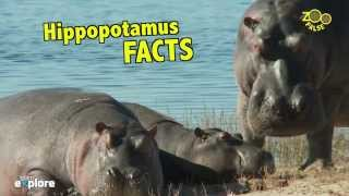 Animal Facts - Hippopotamus - Think Stations