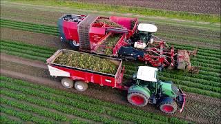 Dewulf Kwatro / Knolselderij rooien / Celeriac Harvest / Sellerie ernten / Fendt