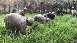 فلاحين سعوديين يزرعون الرز الحساوي | سناب الاحساء