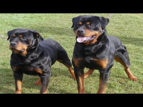 Pelea de perros Rottweiler mascota o asesino