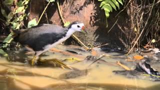 Water hen feeding