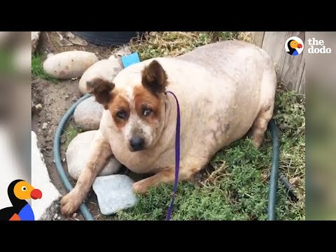 Xxx Mp4 Overweight Dog Finally Knows What Love Feels Like The Dodo 3gp Sex