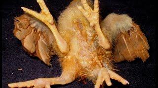 Human-Chicken Hybrid Caught on Tape