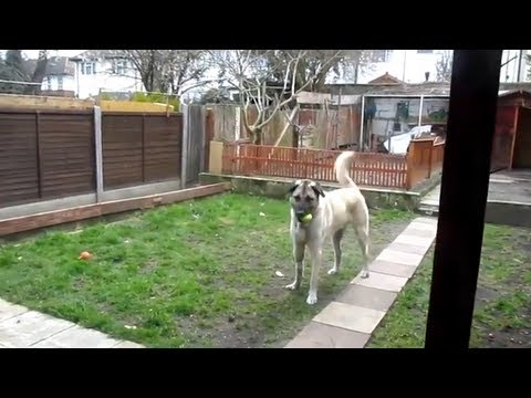 Xxx Mp4 Turkish Dog Kangal Misses His Owner Welcome To Home 3gp Sex