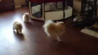 Tiny White pomeranian puppies playing with mom! So adorable!