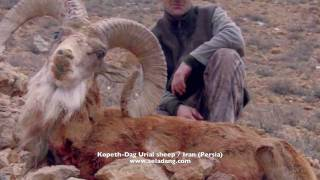 SHEEP of the Old World (ARMENIAN RED URIAL Sheep) Hunting (Chasse) part 1 by Seladang