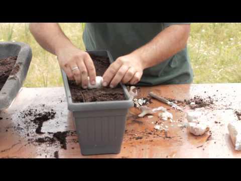 Cómo plantar ajos en macetas Balcón comestible LlevamealhuertoTv