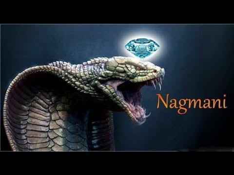 Xxx Mp4 Nagamani Reality Or Myth Naag Mani Cobra Pearl Exists Cobra Stone Manickam Stone Snake Stone 3gp Sex
