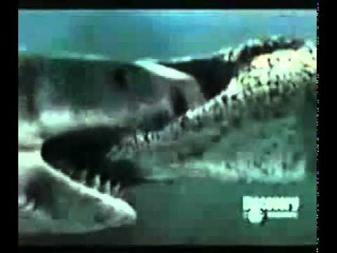 cocodrilo marino vs tiburon blanco