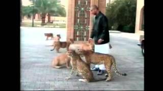 عدي صدام حسين كيف يربي الأسود المتوحشة / فيديو مفترس