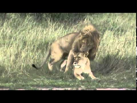Xxx Mp4 शेर और शेरनी संभोग करते हुए 3gp Sex