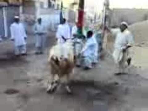 cow arfijee xxx