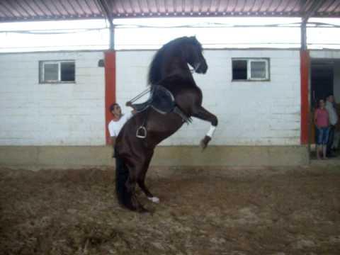 SpanishHorseMatters Spanish Andalusian horse performing Alta Escuela