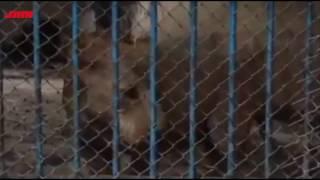 Tiger Mama Korlo Ki ( বাঘ মামা )