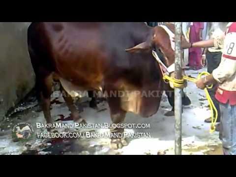 Cow Kids a Boy on Eid ul Azha Cow Qurbani   Cow Kicks the boy