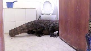 Komodo Dragon In Bathroom! | Planet Earth II