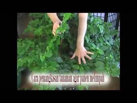 cara pemangkasan pada tanaman cabe agar buah tumbuh lebat