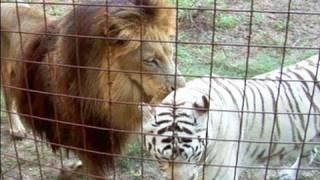 Lion + White Tiger = Cameron & Zabu!