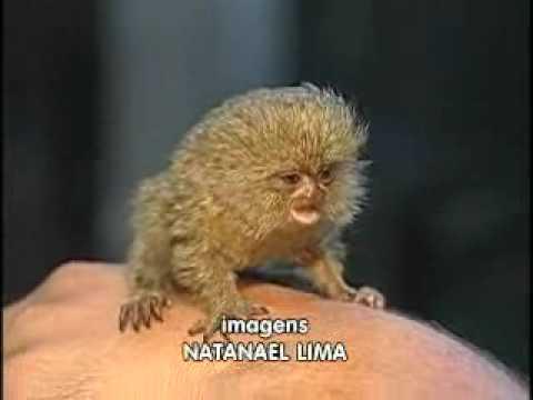 O macaco mais pequeno do mundo