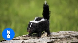 Baby Skunks Trying To Spray - Funniest Compilation