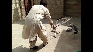 Pigeon Kabootar Pakra Chapke se  in Urdu/Hindi.