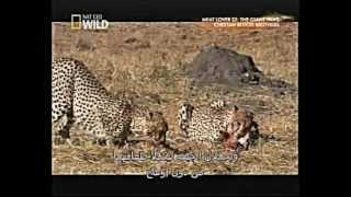 الفهود الصيادة الإخوة الثلاثة المرعبون ( 4 من 4 )