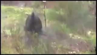 Wild Boar attack hunter