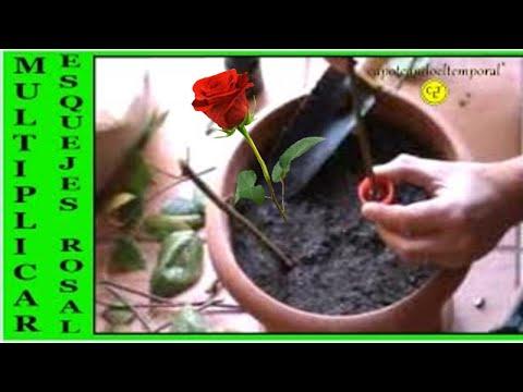 Como injertar rosas vidoemo emotional video unity - Como injertar rosales ...