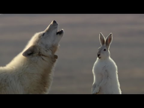 Xxx Mp4 Wolf Pack Hunts A Hare The Hunt BBC Earth 3gp Sex