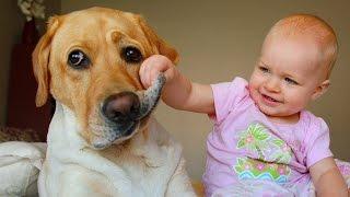 Labrador Dog and Baby Compilation