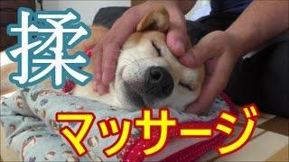柴犬小春 マッサージに身をゆだねる Dog Massage