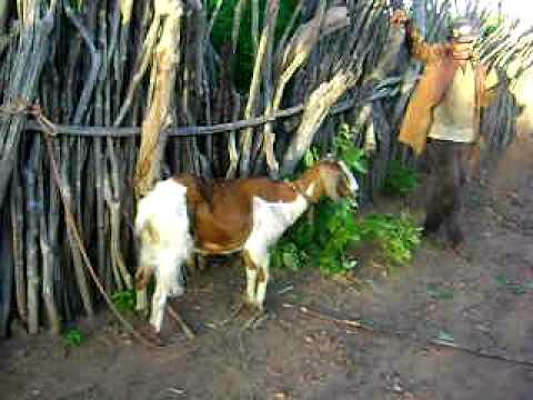 torando a cabra