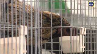 Kury, koguty i inne ptaszyska - wystawa