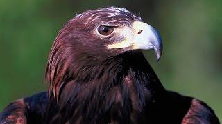 Grandes documentales - El Rey de las montañas: El águila real