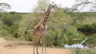 Birds performing dental hygiene on a giraffe