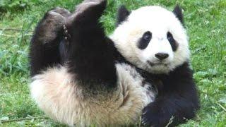 Panda Bear - A Funny Panda And Cute Panda Videos Compilation || NEW HD