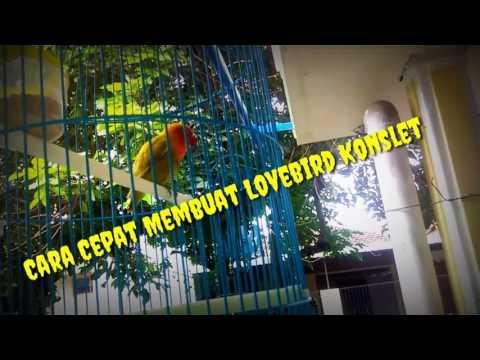 Cara Mudah Dan Cepat Membuat Lovebird Konslet